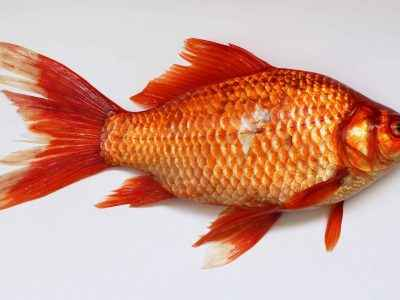 Goldfish x2