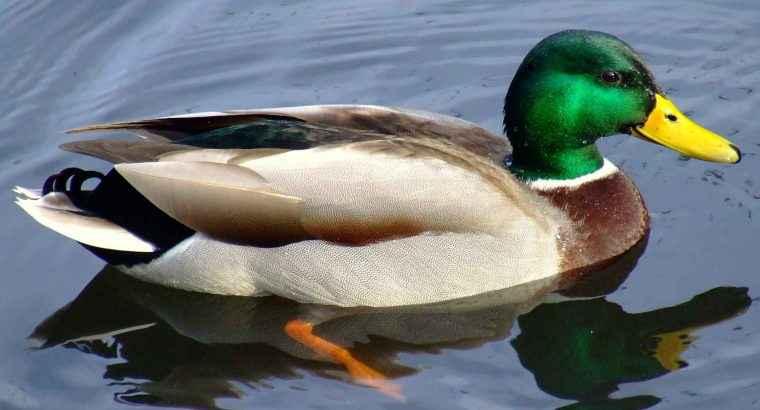 Kuki the Duck